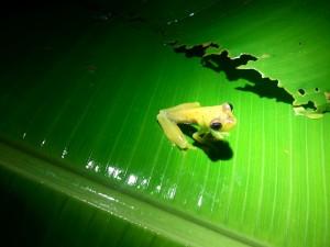 Glassfrog_WEB